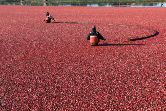Photo of two workers harvesting cranberries in field flooded with water