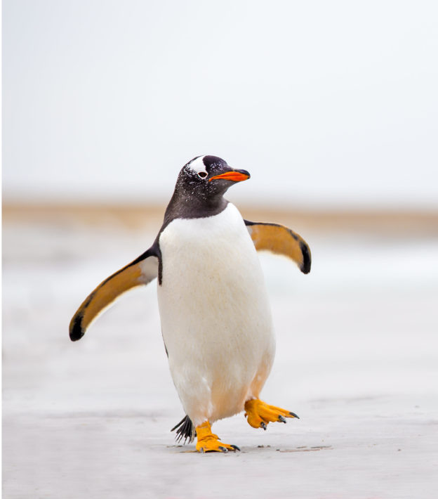 Photo of a penguin walking