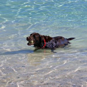 Photo of chocolate Lab dog in water at a sandy beach in summer.