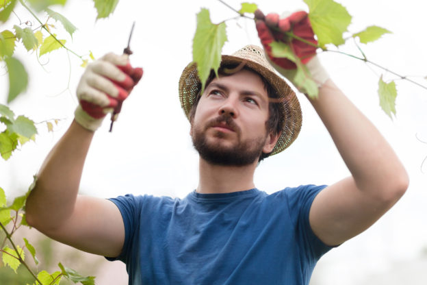Photo of farming pruning grape vine