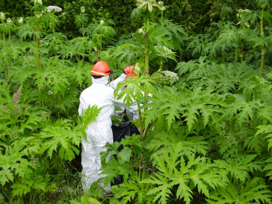 Photo of workers in protective gear standing among giant hogweed plants
