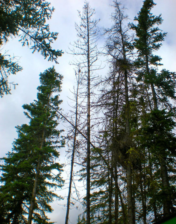 Photo of live and dead evergreen trees