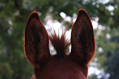 Photo: Ears, by sara.lauderdale on Flickr