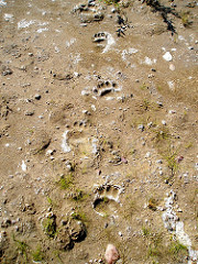 Bear tracks. Photo supplied by Shannon Cameron