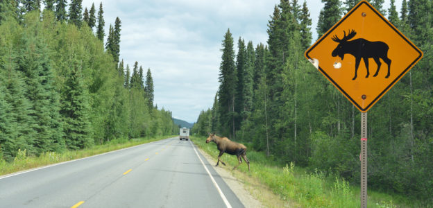 Photo of a moose crossing a road