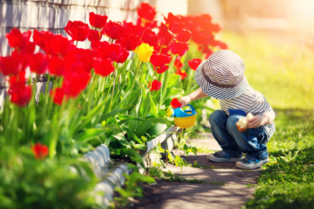 Photo of small child watering red tulips using toy watering can