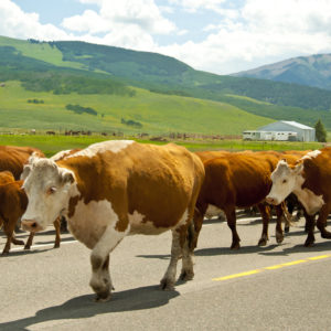 Photo of brown-and-white cattle being driven down the middle of a paved road, with a farm in the background