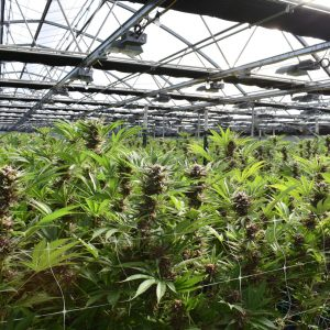 Photo of commercial cannabis greenhouse