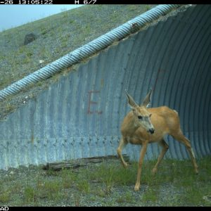 Photo of mule deer emerging from underpass wildlife crossing