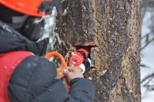 Worker placing explosives into hole cut into a tree.